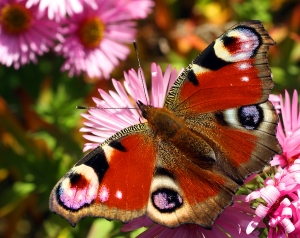 bigstock-Beautiful-european-butterfly-I-16866419